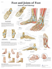 Foot and Joints of Foot