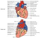 Human Heart Anatomy Diagram