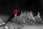 Black & Red Bird