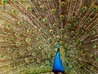 A Peafowl Flaring His Feathers